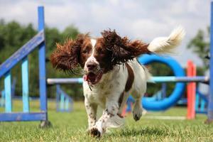 lever och vit arbetande typ engelska springer spaniel husdjur gundog foto