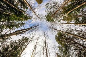 trädtopparna foto