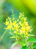 tristellateia australasica, malpighiaceae, Stilla havet öar foto