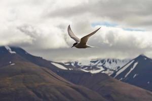 arktisk tern, svalbard foto