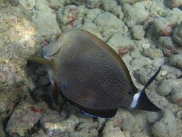 tropisk hawaiisk havsfisk foto