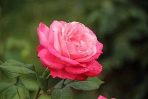 rosa jordljus - ros foto
