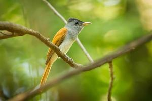 asiatiskt paradis flycatcher foto