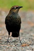 rostig svartfågel foto