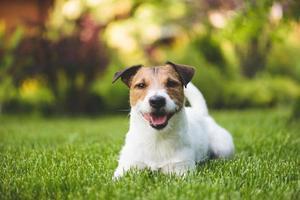 leende hund på en gräsmatta foto