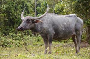 stor asiatisk buffel.