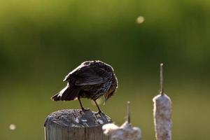 ung gulhuvad svartfågel på stolpen foto