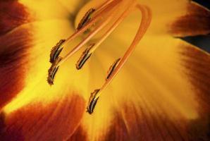 asiatisk lilja