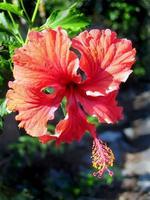 tropisk hibiskus foto