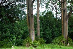 målade bark eukalyptusträd foto