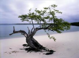 träd vid tortuga bay, santa cruz, galapagos foto