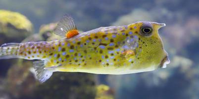 närbild av en longhorn cowfish foto