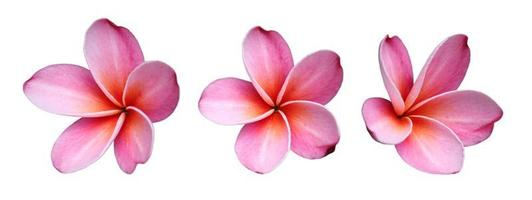 frangipanis blommor foto
