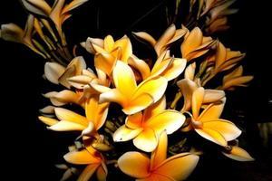 frangipani blomma på natten foto