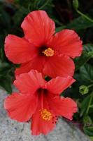 dubbel röd hibiskus tropisk blomma foto