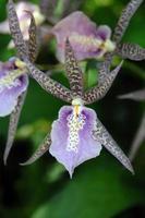 fläckig lila orkidé foto