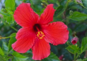 glwoing röd hibiskusblomma foto