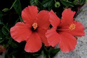 underbara rubinröda hibiskusblommor foto