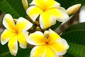 gula plumeria blommor