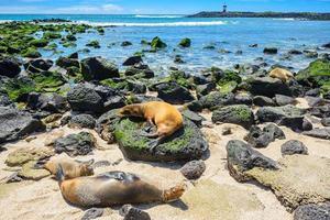 pälssäl på Punta Carola-stranden, galapagosöarna (ecuador) foto
