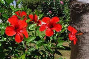 hibiskus och handflata foto