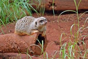 ondska mongoose foto