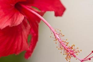 blommor - hibiskus foto