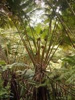 jätte- ormbunke på hawaii foto