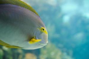 färgglada tropiska hawaiianska Stillahavsfiskar i akvariumutställning foto