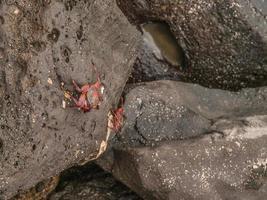 sally lighfoot krabba foto