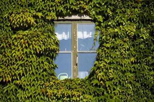 murgröna täckt vägg och fönster foto
