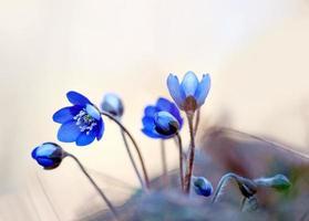 anemons hepatica foto