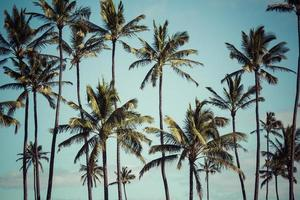 kokosnöt palm i hawaii, usa. foto