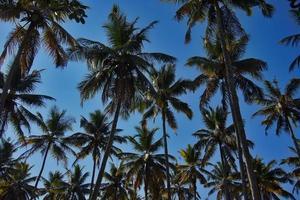 palmträd, foto