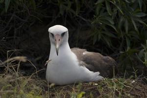 häckande albatross foto