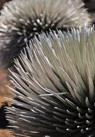 silversword fern på haleakala nationalpark - maui, hawaii foto