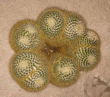 mammillaria pringlei (familj: cactaceae) foto