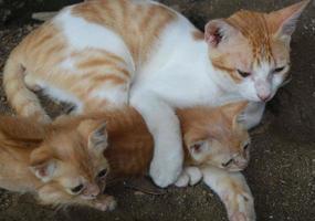 familj av gyllene katter foto
