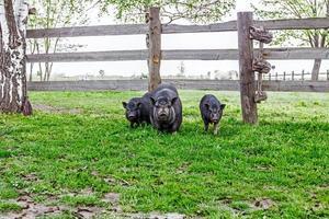 familj av vietnamesiska grisar foto