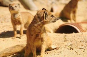 gul mongoose familj.