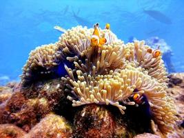 familj clown anemonefish foto
