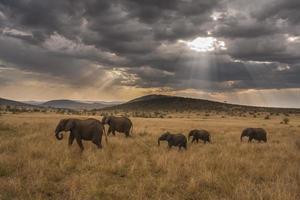familj av elefanter som marscherar genom savannen