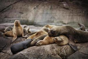 kosig familj av vilda sjölejon foto