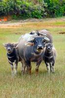 familj av buffel foto
