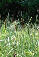 våtmark vass