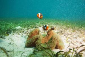 familj av clownfishes på sand botten foto