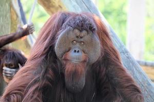 manlig orangutang från apafamiljen foto