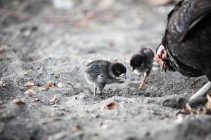 kycklingfamilj som söker mat på stranden foto