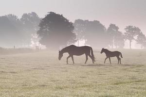 hästfamilj går på dimmig betesmark foto