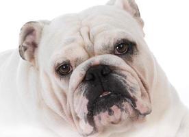bulldog porträtt foto